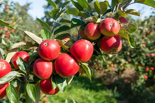 Deciduous tree「Apple Norfolk Royal. Norfolk. UK」:スマホ壁紙(0)