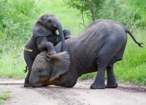 Animal Wildlife「Elephants playing together in jungle」:スマホ壁紙(10)