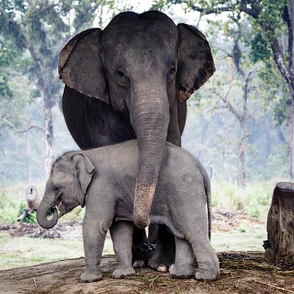 Nepal「Elephants」:スマホ壁紙(8)