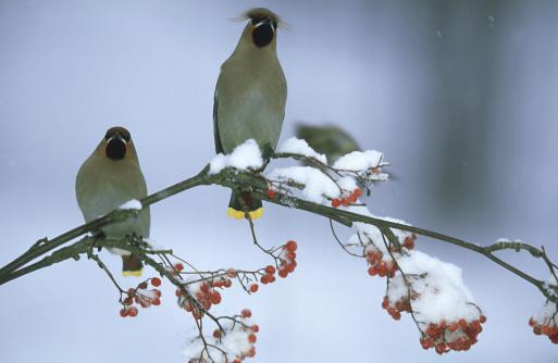 Bohemian Waxwing「waxwing: bombycilla garrulus  feeding on berries  winter in northern finland」:スマホ壁紙(8)