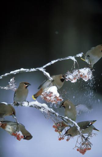 Bohemian Waxwing「waxwing: bombycilla garrulus  feeding on berries  winter in northern finland」:スマホ壁紙(4)