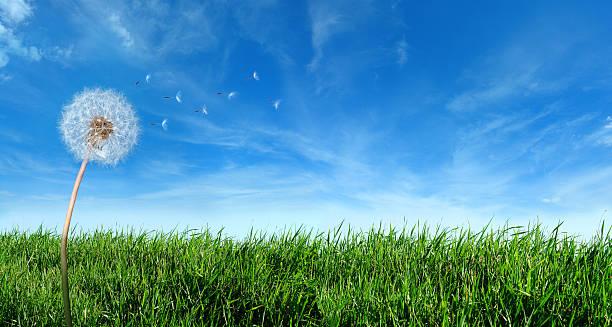 フライングたんぽぽの種でおくつろぎください。:スマホ壁紙(壁紙.com)