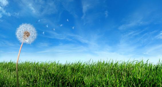 花畑「フライングたんぽぽの種でおくつろぎください。」:スマホ壁紙(7)
