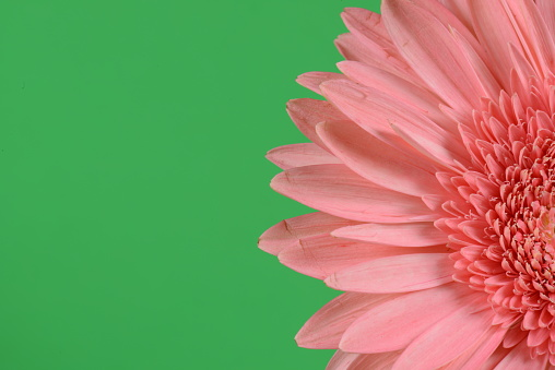 flower「Half Pink Gerbera Daisy Flower; Right Justified; Green Background」:スマホ壁紙(19)