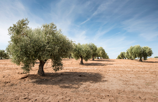 Grove「Spain, Ciudad Real, olive tree plantation」:スマホ壁紙(9)
