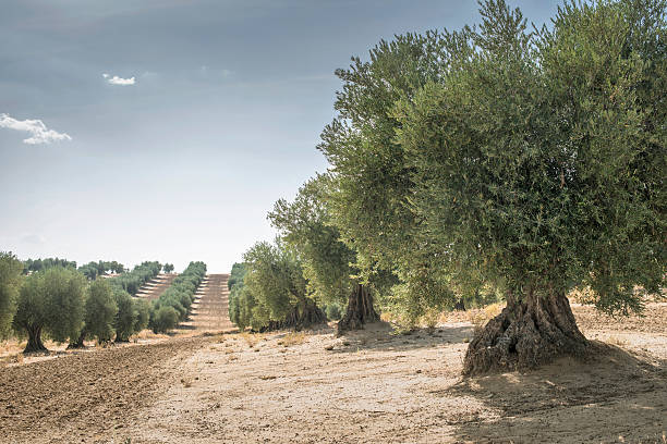 Spain, Ciudad Real, olive tree plantation:スマホ壁紙(壁紙.com)