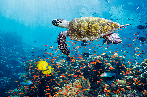 Tropical fish「Hawksbill turtle over coral reef」:スマホ壁紙(4)