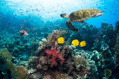 Masked Butterflyfish「Hawksbill turtle」:スマホ壁紙(17)