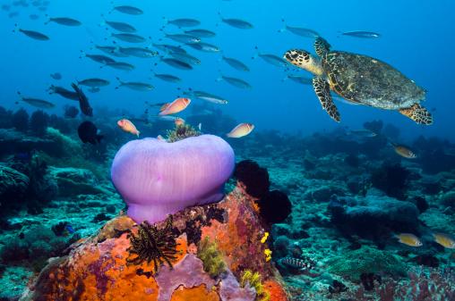 Ecosystem「Hawksbill turtle (Eretmochelys imbricata)」:スマホ壁紙(11)