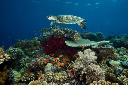 サンゴ「Hawksbill turtle glides over the pristine reefs in Fiji.」:スマホ壁紙(14)