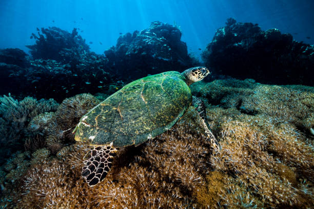 Hawksbill Turtle Swimming over Pumping Xenia Coral Reef, Komodo National Park, Indonesia:スマホ壁紙(壁紙.com)