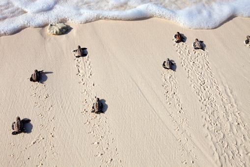 Endangered Species「Hawksbill turtle (Eretmochelys imbricata). Endangered species.Seychelles」:スマホ壁紙(15)