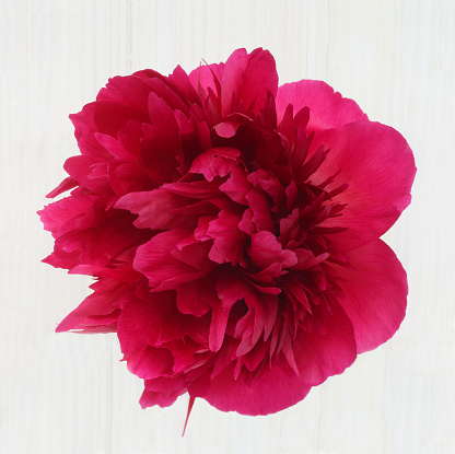 Haslemere「Extravagent looking pink peony on white」:スマホ壁紙(16)