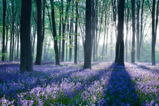 Wildflower「Dawn in bluebell woodland (Hyacinthoides non-scripta), Hampshire, England」:スマホ壁紙(5)