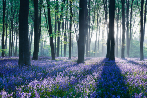 Uncultivated「Dawn in bluebell woodland (Hyacinthoides non-scripta), Hampshire, England」:スマホ壁紙(1)