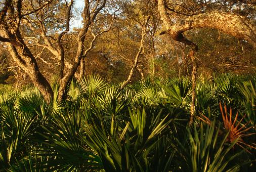 Ocala National Forest「Palmetto Understory and Scrub Live Oak」:スマホ壁紙(13)