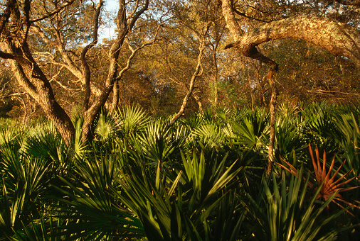 Ocala National Forest「Palmetto Understory and Scrub Live Oak」:スマホ壁紙(15)
