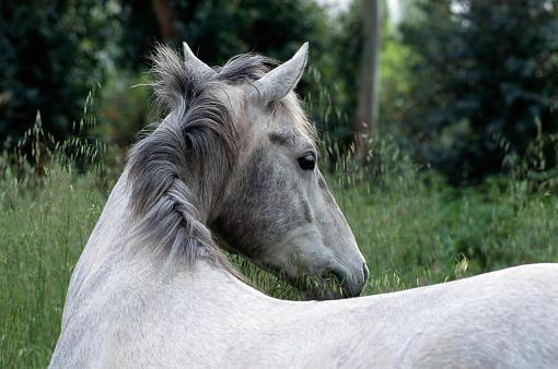 Stallion「Lipizzan Stallion」:スマホ壁紙(15)