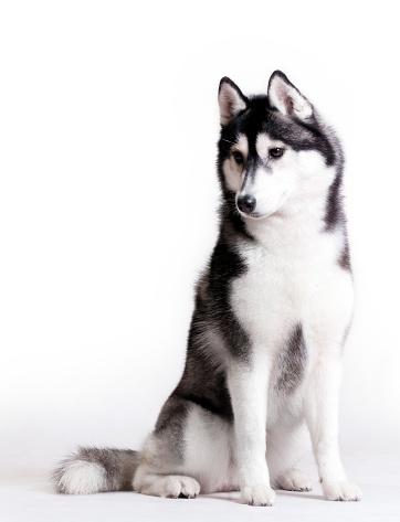 ハスキー犬のスマホ壁紙 検索結果 [1] 画像数406枚
