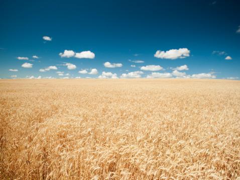 Wheat「USA, Oregon, Wasco, Wheat field in bright sunshine under blue sky」:スマホ壁紙(10)