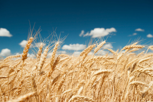 Agricultural Field「USA, Oregon, Wasco, Wheat ears in bright sunshine under blue sky」:スマホ壁紙(11)