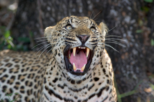 Fang「Leopard (Panthera pardus) Looking Up - Snarling」:スマホ壁紙(5)
