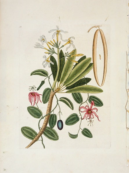 White Background「Plumeria Obtusa L. (Singapore Frangipani)」:写真・画像(7)[壁紙.com]