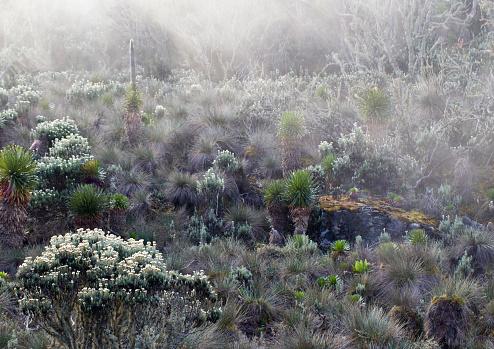花「Afro alpine vegetation in the mist, Hunwicks Camp, Kilembe Route, Rwenzori National Park, Kasese District, Uganda」:スマホ壁紙(9)