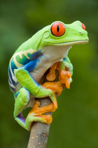 Animals In The Wild「Vivid Color - Red-eyed Tree Frog」:スマホ壁紙(4)