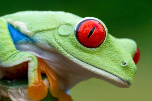 Tree Frog「Vivid Color - Red-eyed Tree Frog」:スマホ壁紙(9)
