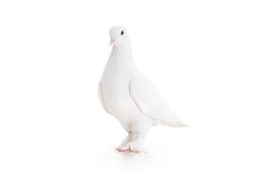 Symbols Of Peace「White pigeon」:スマホ壁紙(3)