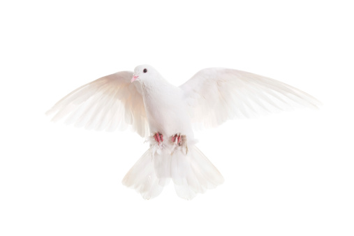 Bird「White pigeon」:スマホ壁紙(19)