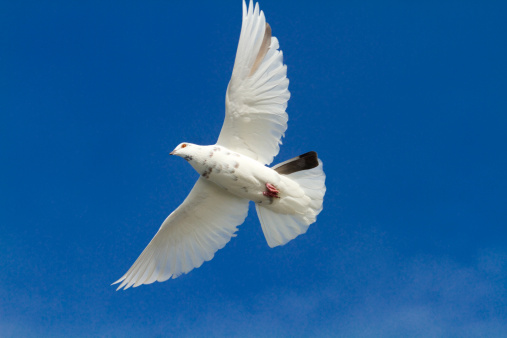 Animal Wing「White Pigeon in Flight」:スマホ壁紙(5)