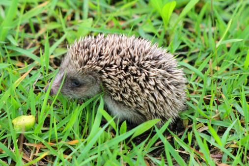 Hedgehog「Rrinaceus earopaeus」:スマホ壁紙(11)