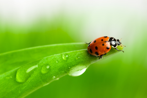 Beetle「Ladybug」:スマホ壁紙(12)