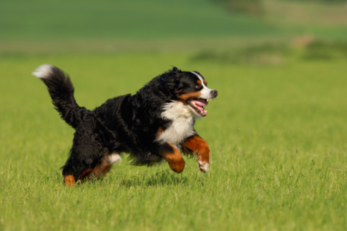 Carefree「Bernese Mountain Dog running across meadow.」:スマホ壁紙(16)