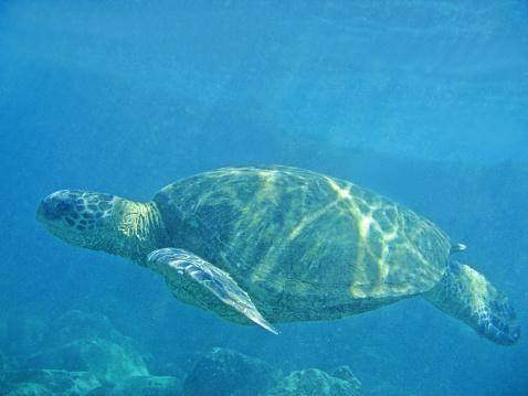 Green Turtle「Green sea turtle swimming, underwater view」:スマホ壁紙(6)