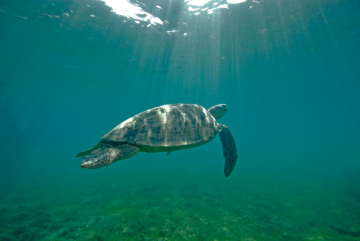 French Overseas Territory「Green sea turtle (Chelonia mydas), Mayotte, Indian Ocean」:スマホ壁紙(5)