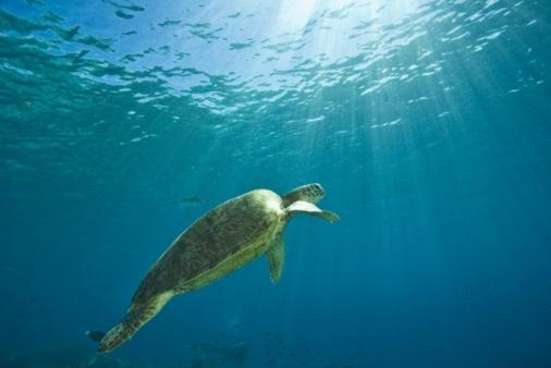 Green Turtle「Green sea turtle, Mabul Island, Sabah, Malaysian Borneo, Malaysia, Southeast Asia」:スマホ壁紙(15)