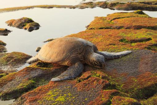 Green Turtle「Green Sea Turtle (Chelonia Mydas) On Shore At Sunset Near Kona」:スマホ壁紙(7)