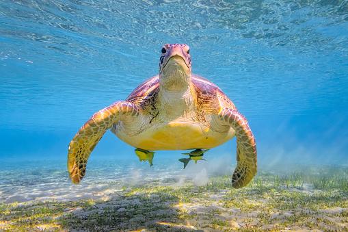 Green Turtle「Green sea turtle on Red Sea - Marsa Alam - Egypt」:スマホ壁紙(15)