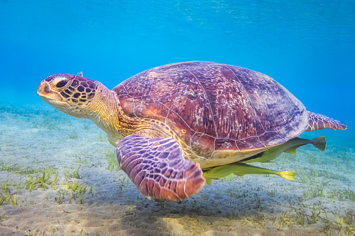 Green Turtle「Green sea turtle on Red Sea / Marsa Alam / Egypt」:スマホ壁紙(8)