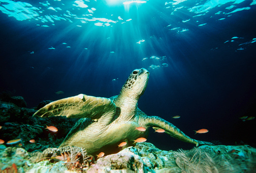 Green Turtle「Green sea turtle (Chelonia mydas) on coral reef (Digital Composite)」:スマホ壁紙(14)