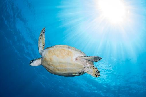 Green Turtle「Green sea turtle in North Sulawesi, Indonesia.」:スマホ壁紙(14)