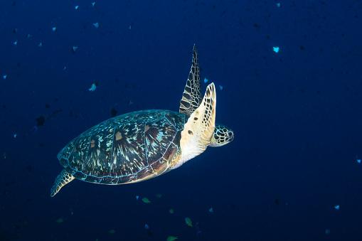 Green Turtle「Green sea turtle in North Sulawesi, Indonesia.」:スマホ壁紙(13)