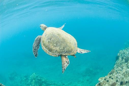 Green Turtle「A green sea turtle swimming near Makena bay in Maui, Hawaii.」:スマホ壁紙(17)