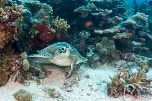 Green Turtle「Green sea turtle (Chelonia mydas), underwater view」:スマホ壁紙(12)