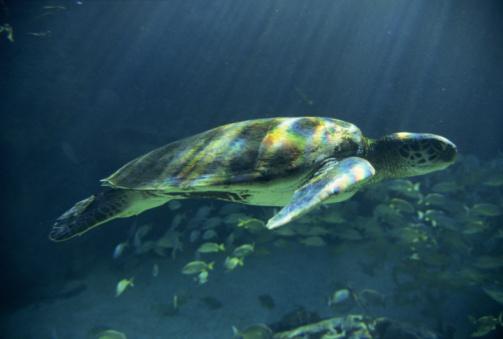 Green Turtle「Green sea turtle underwater」:スマホ壁紙(2)