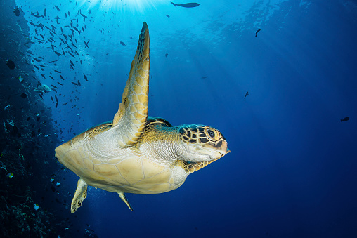 Green Turtle「A green sea turtle swims by a reef under the sun, North Sulawesi, Indonesia.」:スマホ壁紙(6)