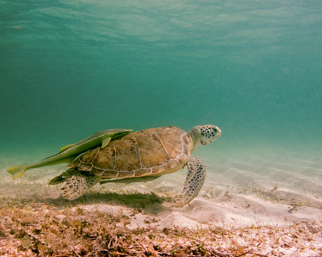Green Turtle「Green sea turtle with remora on back, Tiger Beach, Bahamas.」:スマホ壁紙(12)